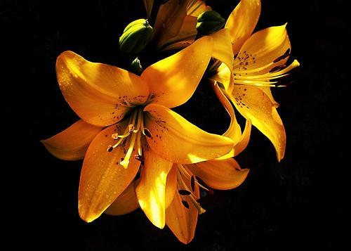 無料写真素材, 花・植物, オニユリ