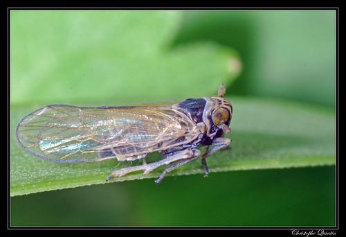 Javesella pellucida mâle