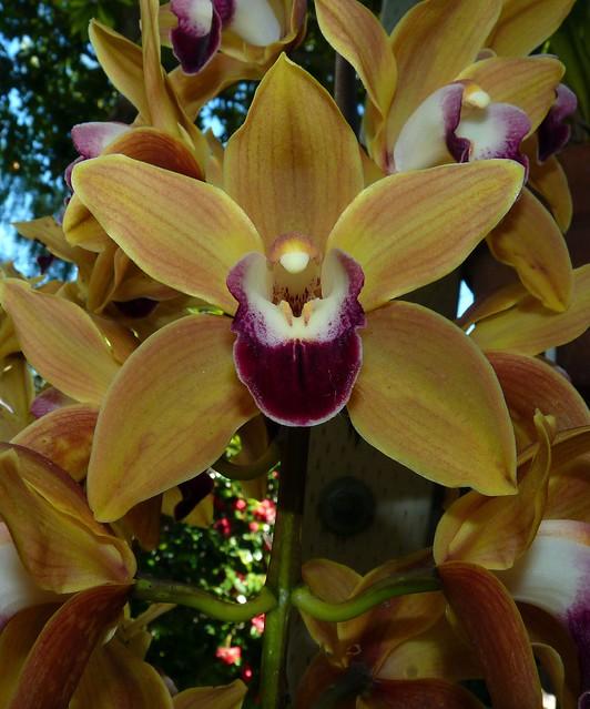 Cymbidium Memoria Amelia Earhart hybrid orchid