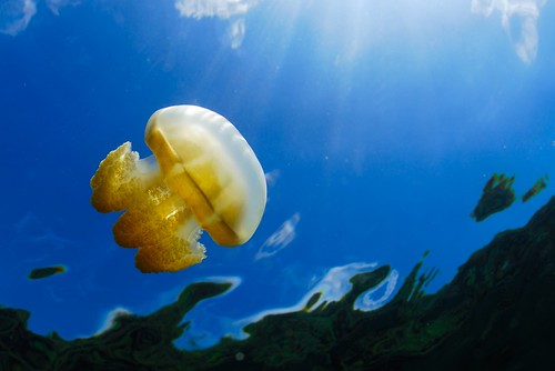 Animals_Jellyfish_in_Lake_Palau_shutterstock_57874777