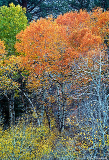 Aspens in Color  R358N28