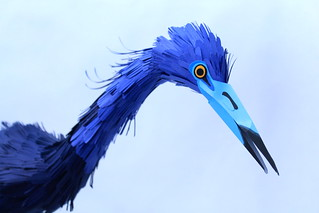 little blue heron detail.