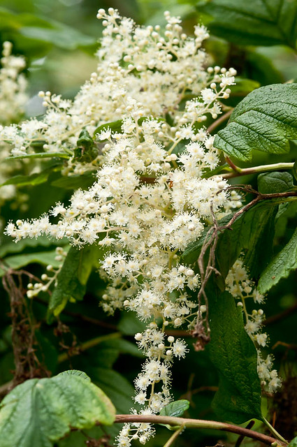 Oceanspray (Holodiscus discolor) flowers