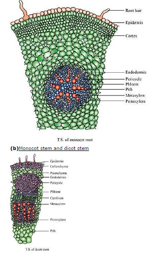 ncert solutions class 11th biology chapter 6 anatomy of flowering plants. Black Bedroom Furniture Sets. Home Design Ideas