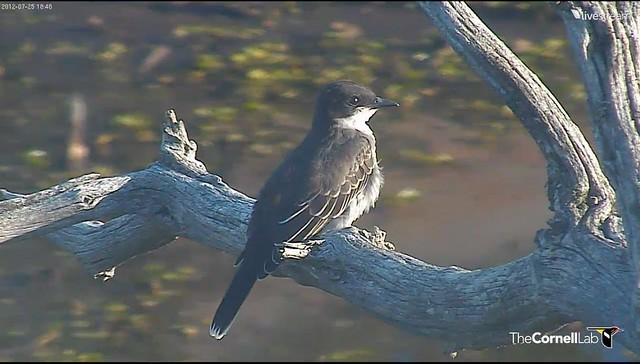 Eastern Kingbird 7-25-2012 9-29-09 PM