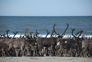 Reindeer on Ikpek Beach
