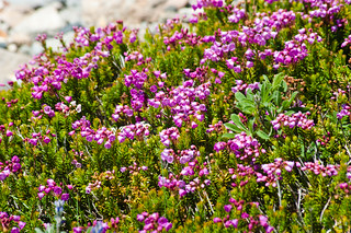 Pink Mountain Heather (Phyllodoce empetriformis)