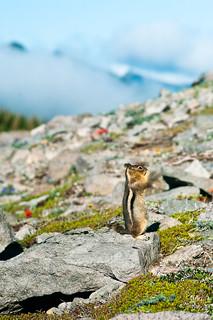 Golden-mantled Ground Squirrel and Vista