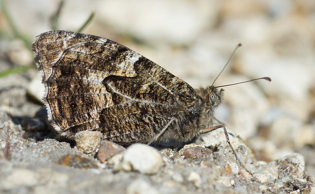 grayling butterfly close upcrockford stream