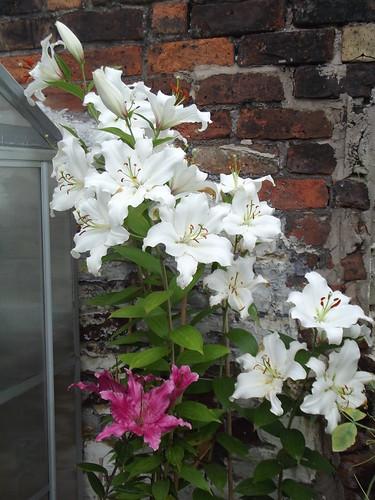Lilies - i by rajmarshall