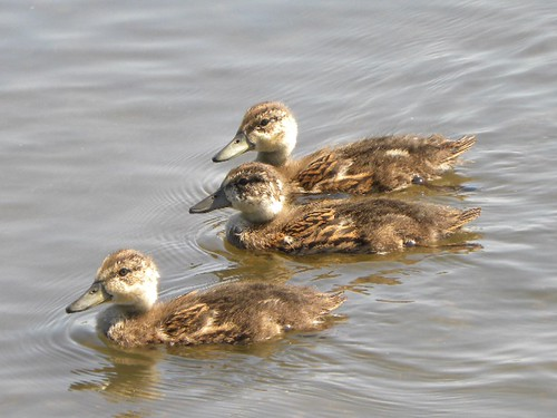 Ducklings at Piper Spit, Burnaby Lake