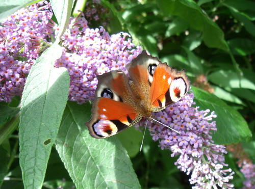Red peacock butterfly, with eyed wings, on pink and green buddleia bush, 1