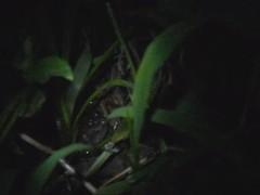 ♪♫ Vocalización / Call Leptodactylus fragilis