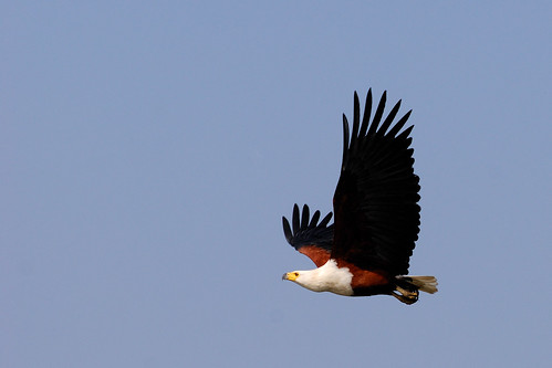 African Fish Eagle - South Africa