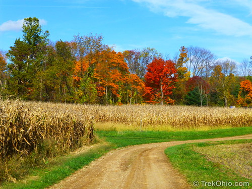 Yellowed corn fields