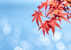 [フリー画像素材] 花・植物, カエデ・モミジ, 紅葉・黄葉 ID:201211080400