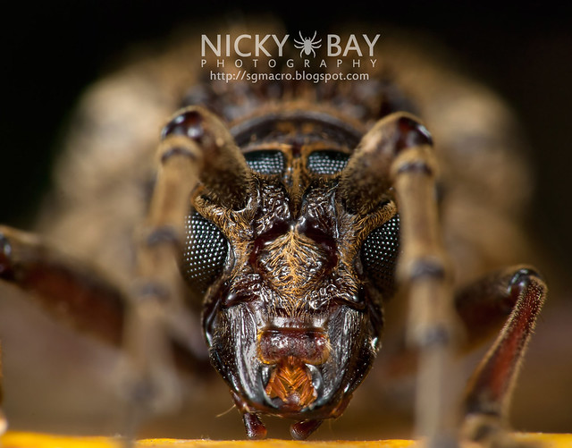 Longhorn Beetle (Cerambycidae) - DSC_6044
