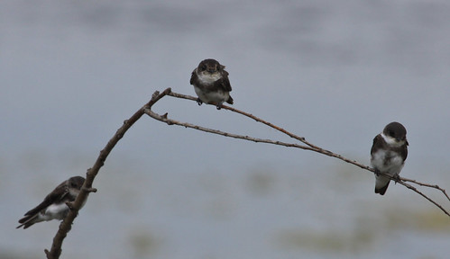 Bank Swallow