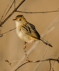 animal, sparrow, ortolan bunting, branch, yellow, wing, fauna, finch, emberizidae, beak, house sparrow, bird, wildlife,