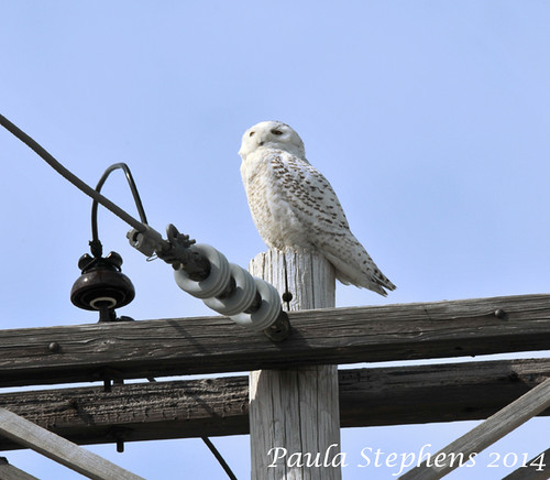 Snowy Owl by Paula Stephens