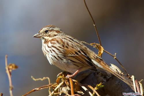 songsparrow birdviewingstation codorusstatepark hanover pennsylvania ©henrytmclin ©henrymclin