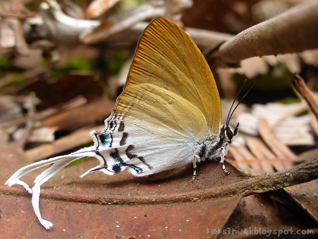 Mount Singai Tailed Butterfly