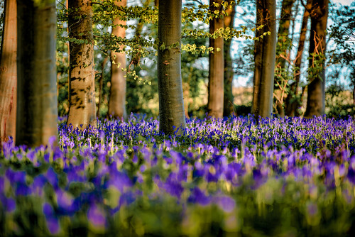 Good Friday - Bluebell Sunrise