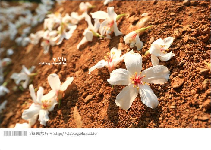 【彰化油桐花】福田桐花生態園區~雪白花毯!每年都會想再回訪的賞桐景點12