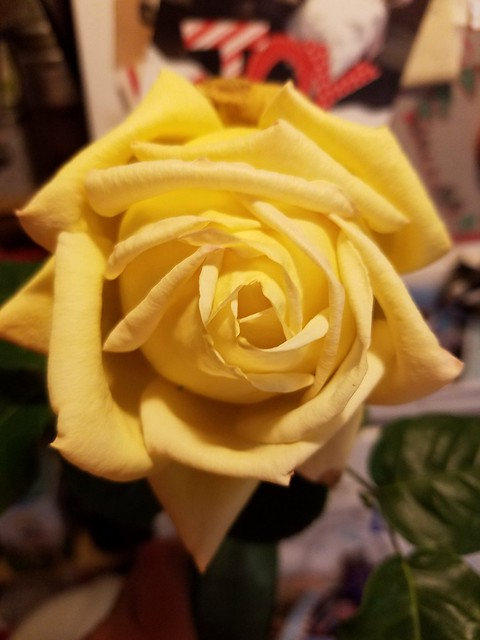 Rose from the Garden