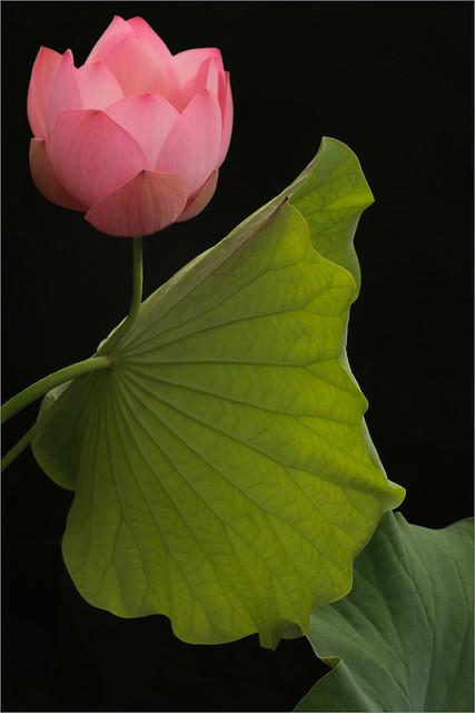 Pink Lotus Flower and the backlit leaf