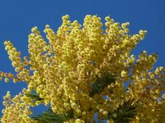 Acacia dealbata (mimosa) per Miluz a Flickr