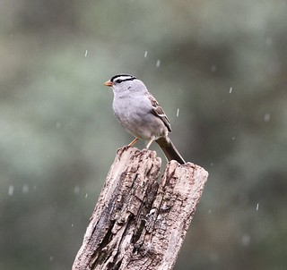 White crowned Sparrow in the Spring rain