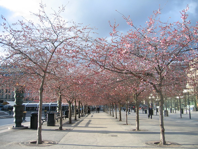 Cherry blossoms, Kungsträdgarden, Stockholm 2012 - #2