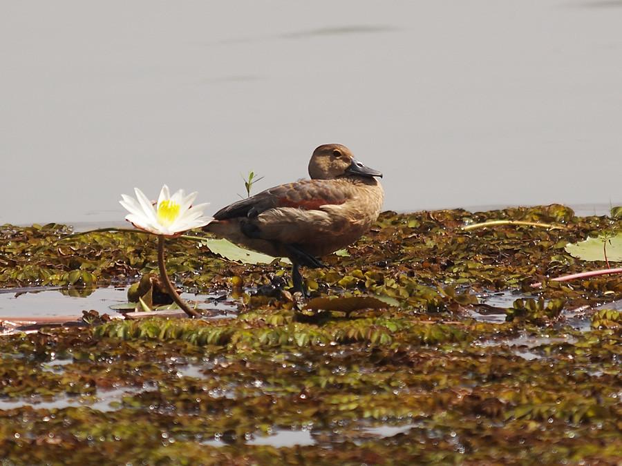 Белолицая свистящая утка