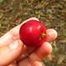 Mystery fruit or berry??  Botanic Gardens in Puerto Viejo, Costa Rica 29APR12