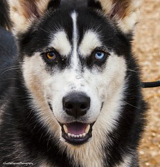 lapponian herder(0.0), shikoku(0.0), dog breed(1.0), animal(1.0), west siberian laika(1.0), dog(1.0), miniature siberian husky(1.0), alaskan klee kai(1.0), siberian husky(1.0), pet(1.0), russo-european laika(1.0), east siberian laika(1.0), tamaskan dog(1.0), greenland dog(1.0), northern inuit dog(1.0), wolfdog(1.0), saarloos wolfdog(1.0), native american indian dog(1.0), jã¤mthund(1.0), alaskan malamute(1.0), sled dog(1.0), carnivoran(1.0),