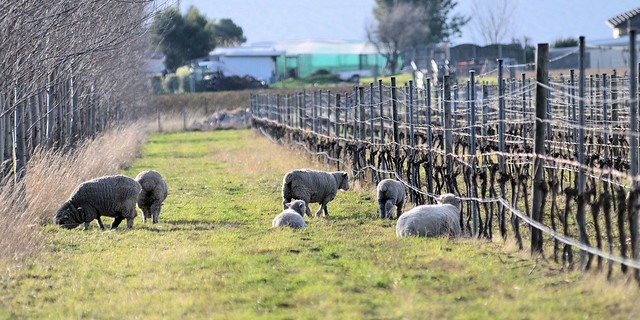 Miniature sheep grazing, Granton Vineyard