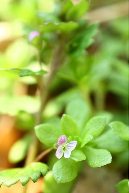 Veronica didyma var. lilacina イヌノフグリ