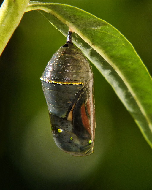 Chrysalis to Butterfly (#1 of 5) from Flickr via Wylio