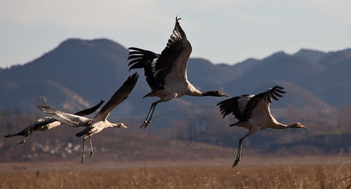 Black-necked Cranes taking flight