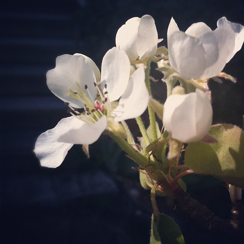 first time this pear has bloomed for us #organicgarden #urbangarden #pear #pleasenofrost