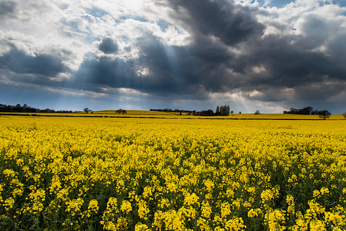 Rapeseed field... by D3RON