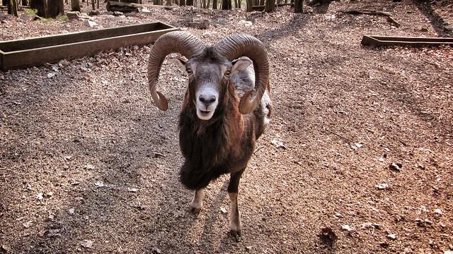 Dings mit Hörnern im Tierpark Donsbach