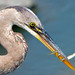 Juvenile Great Blue Heron With Three Fish by Brian E Kushner