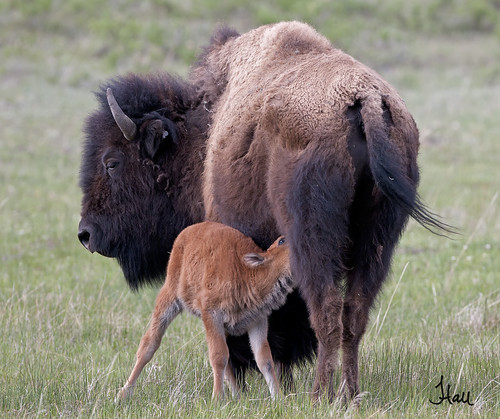 Feeding Time - Bison with Calf - 9826b2+sg