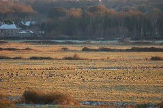 Pink-footed Geese 3