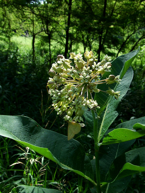 white milkweed with white moth