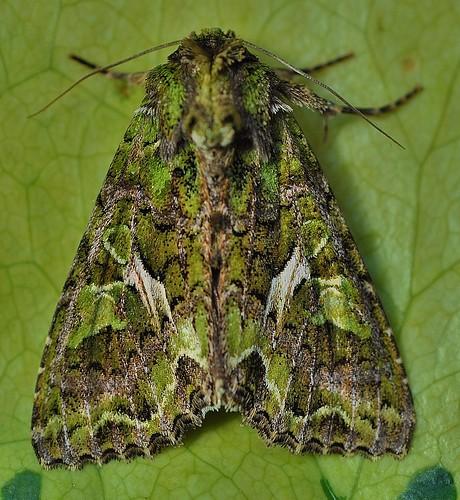 2304 Orache Moth Trachea atriplicis Sandwich Bay by Kinzler Pegwell