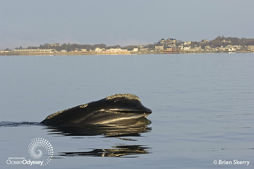 Right whale skim feeding off Provincetown, MA. Copyright Brian Skerry.
