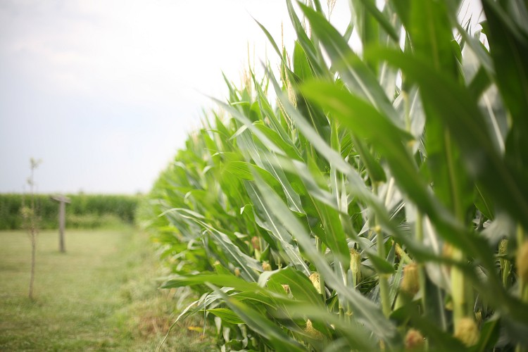 07-18-corn2